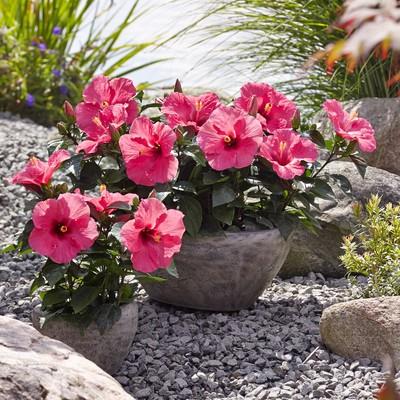 Hibiskus – en färgsprakande prydnadsväxt både inne och ute