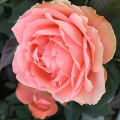 'Tricolore'™ rose