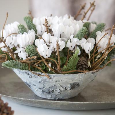 Alpeviolen  - vinterens smukkeste blomst