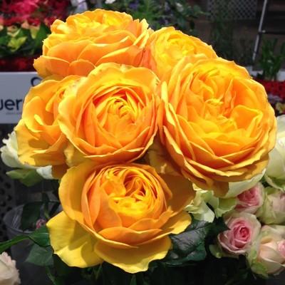 Rosa hybrid Rosa Loves Me® Over the Moon™,