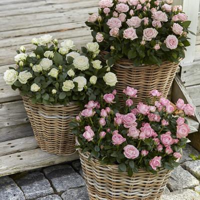 Den perfekte rose til havens potter og krukker
