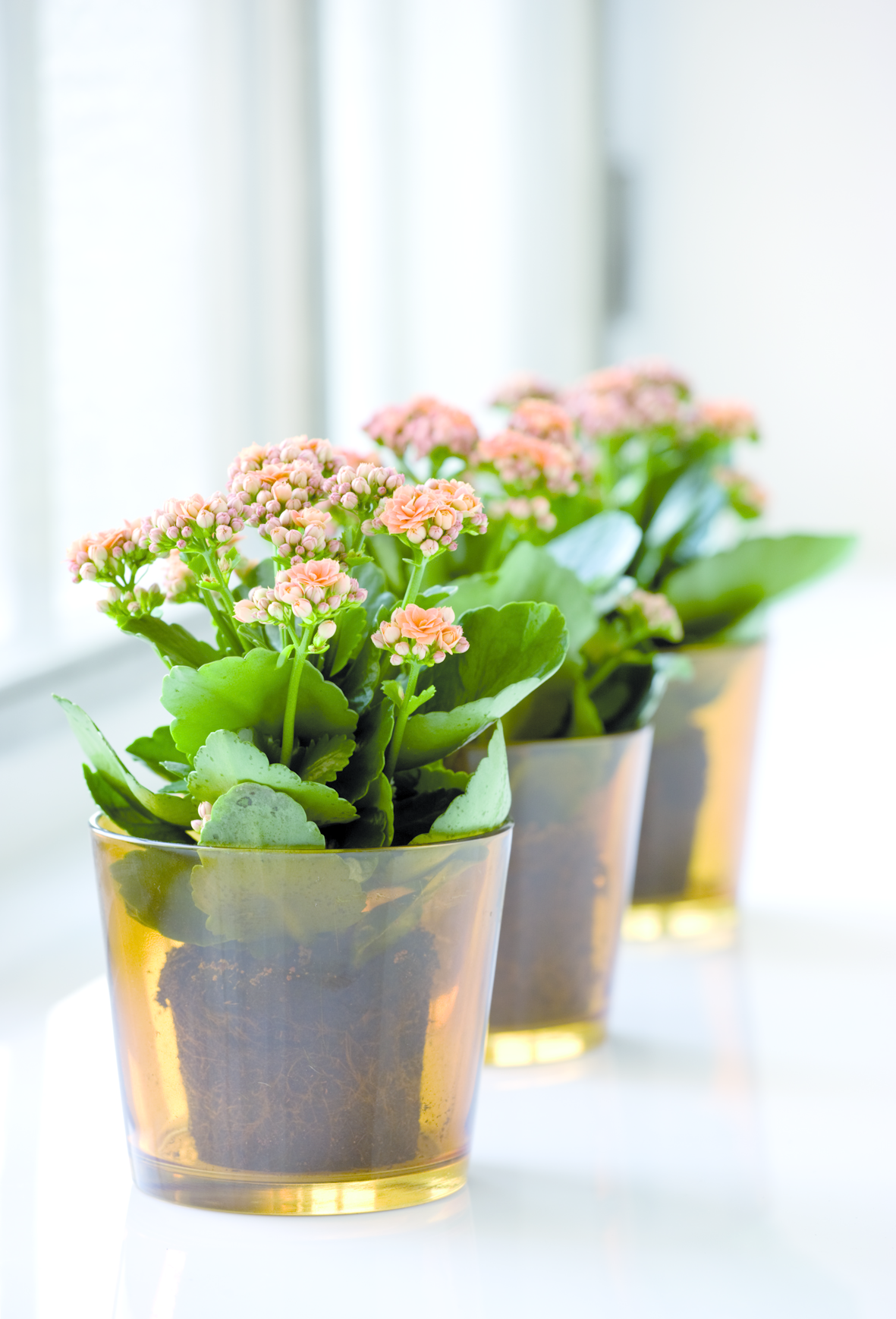 Floradania Dk Kalanchoe Is The Number One Plant In Denmark