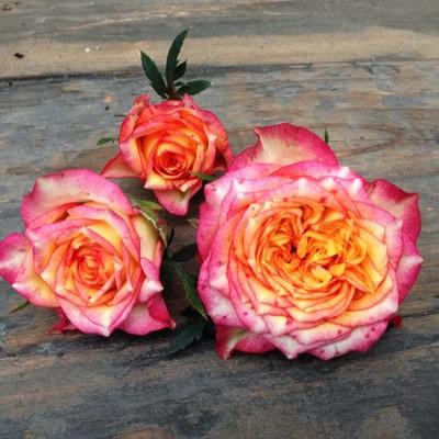 Rosa hybrid Val de Sole™ Roses Forever®