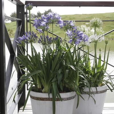 Afrikas blå/vita lilja – Ett ljuvligt inslag i trädgården