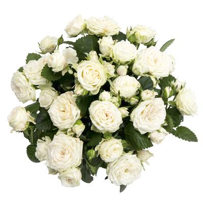Rosa hybrid QiRose bouquet
