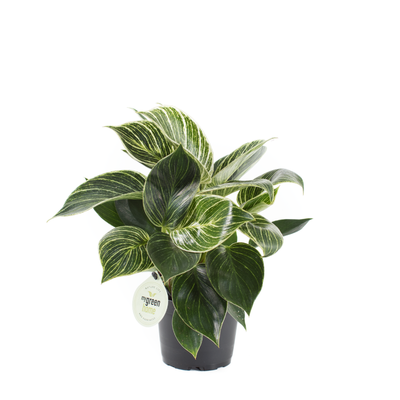 Philodendron White Meassure