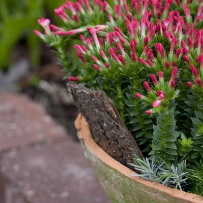 Crassula - en plante til alle generationer