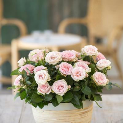 Kvik krukkerne op med roser i sensommerfarver