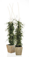 Vinterens skønneste duftplante er mangeblomstret jasmin
