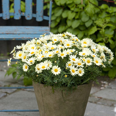 A wealth of marguerites