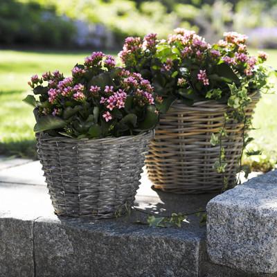 Neues Leben im Garten mit Outdoor-Kalanchoen