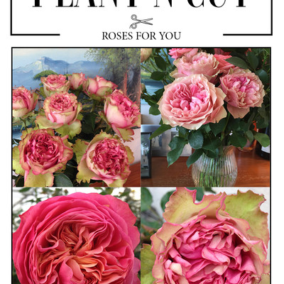 Plant 'n' cut™ 'Roses for You'