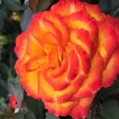Malfa™ Roses Forever®