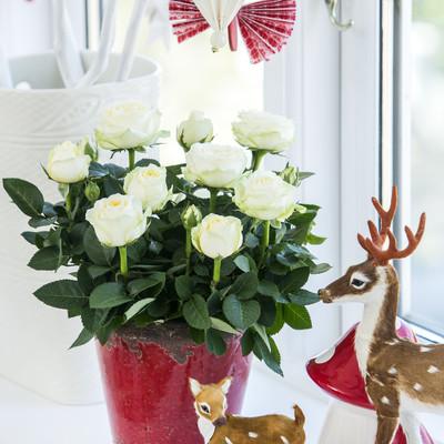 Ægte julestemning med ægte roser