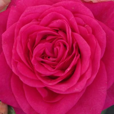 Rosa hybrid Malaga™ Roses Forever®
