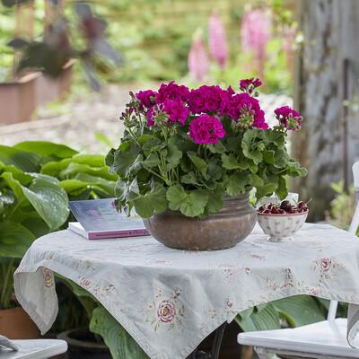 Blomstrende paradis for enhver smag med Palargonier