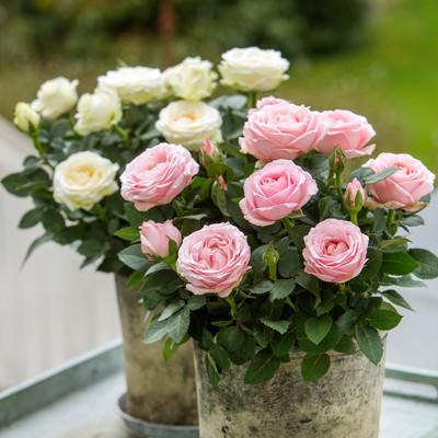 Die schönsten Rosen des Sommers für die Unendlichkeit