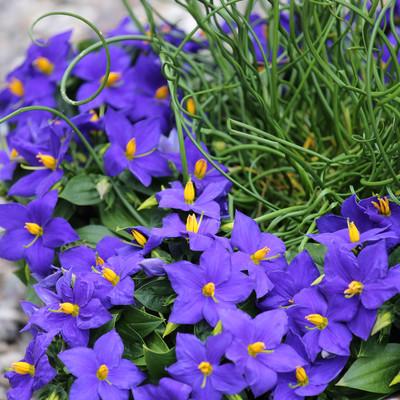 Sapphire - en plante ud over det sædvanlige