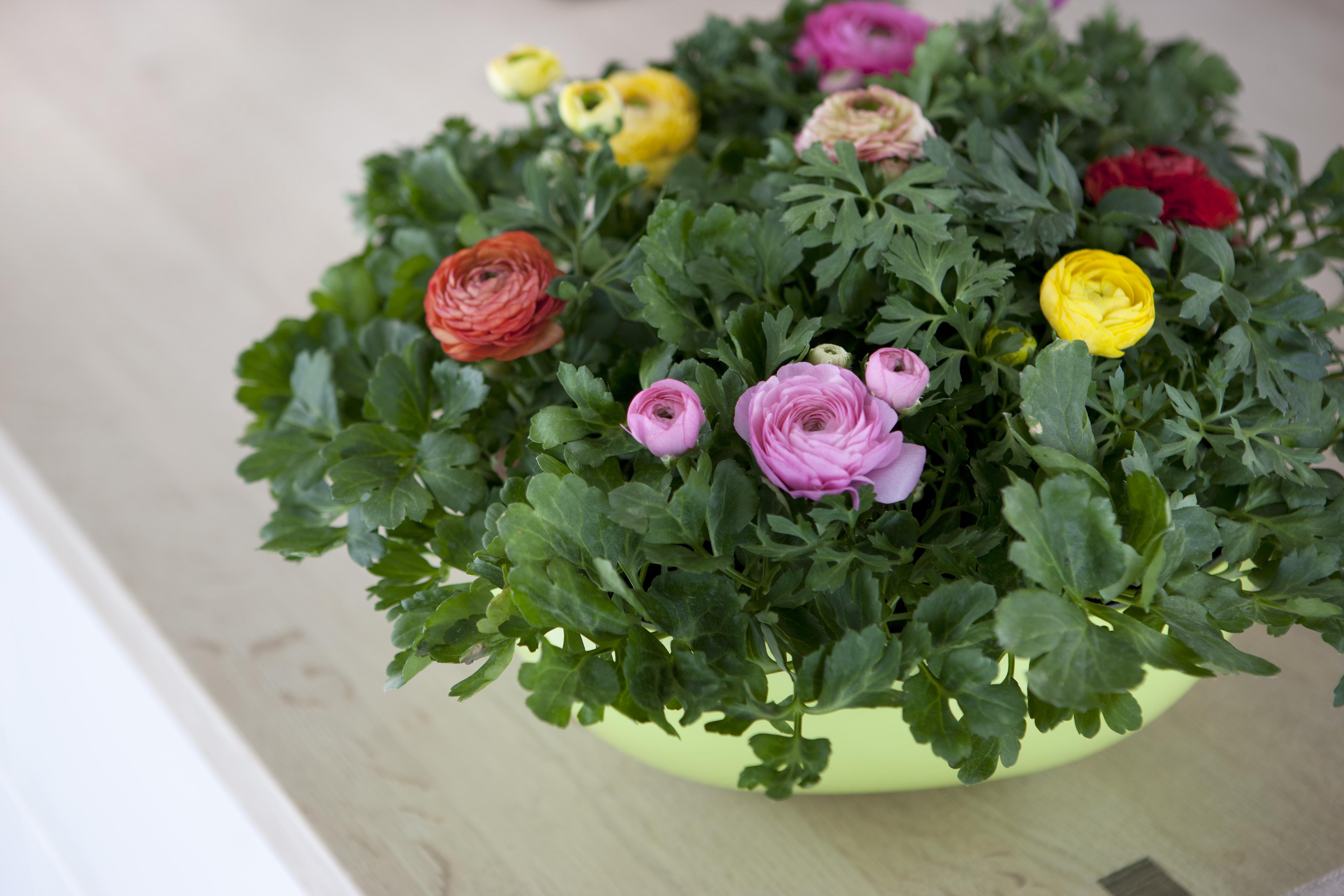 spiselige blomster i potter