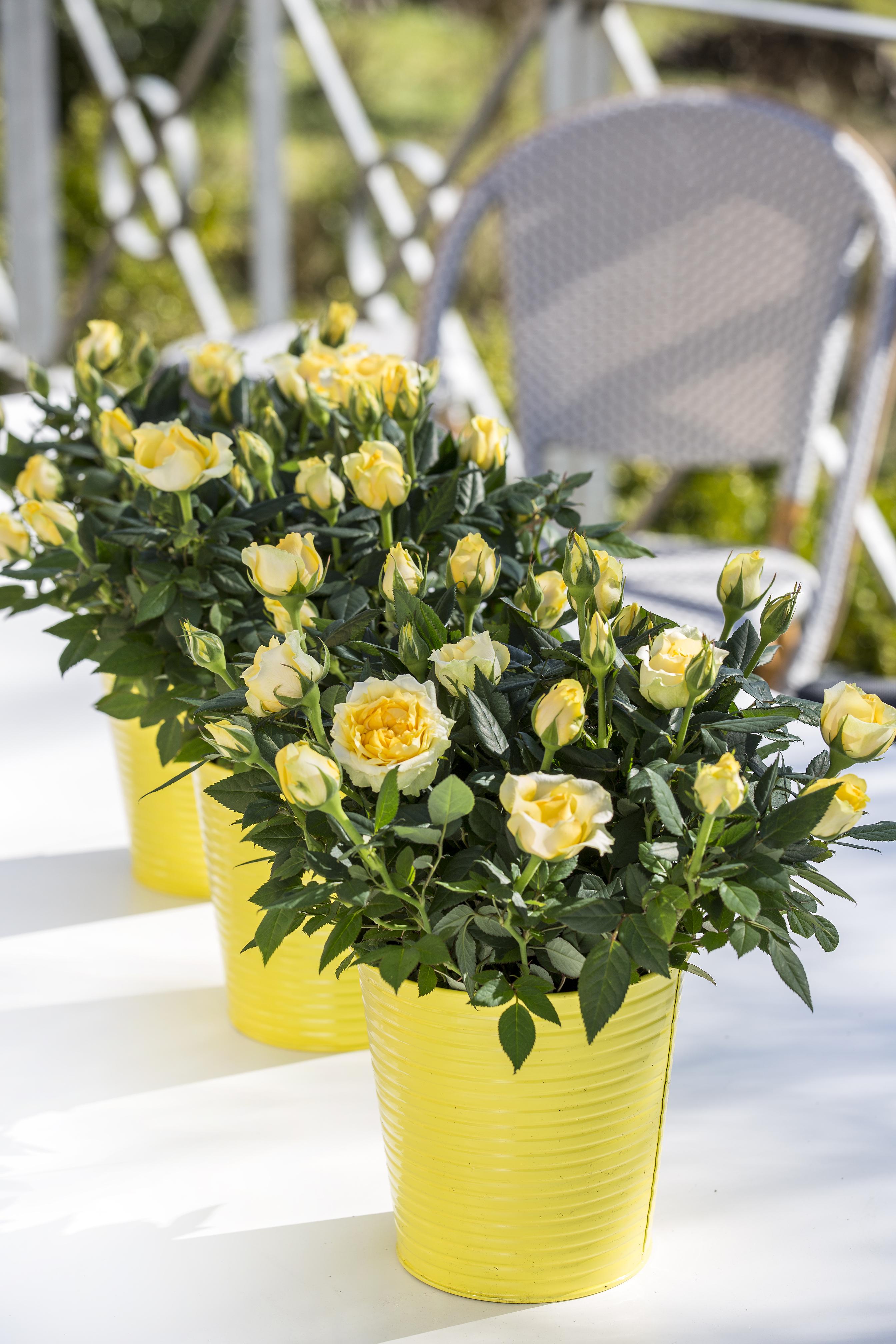 floradania marketing rosen feminine pflanzen mit maskulinem touch. Black Bedroom Furniture Sets. Home Design Ideas