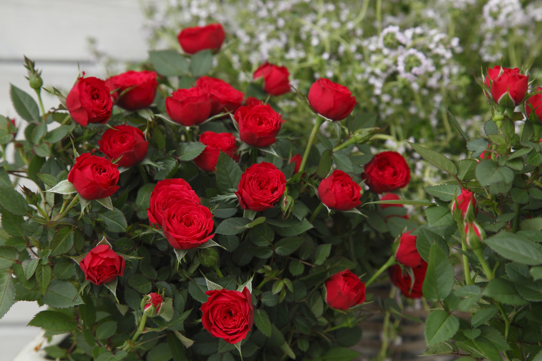 Floradania Marketing: New variety